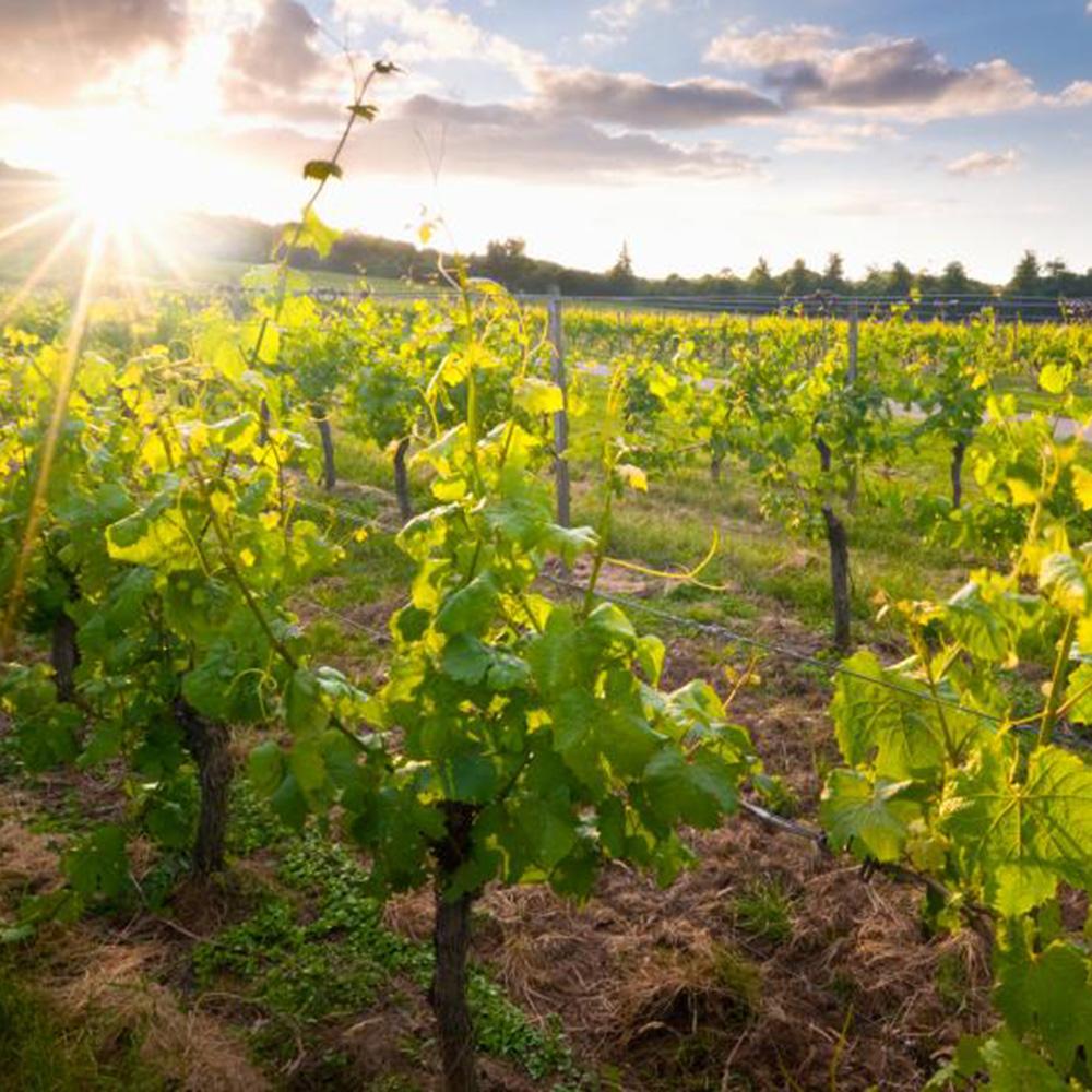 English Wine Showcase - Guildford 1st June 6.30pm